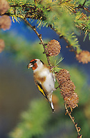 European Goldfinch, Carduelis carduelis, adult eating on cones of European Larch (Larix decidua) , Unteraegeri, Switzerland,Europe