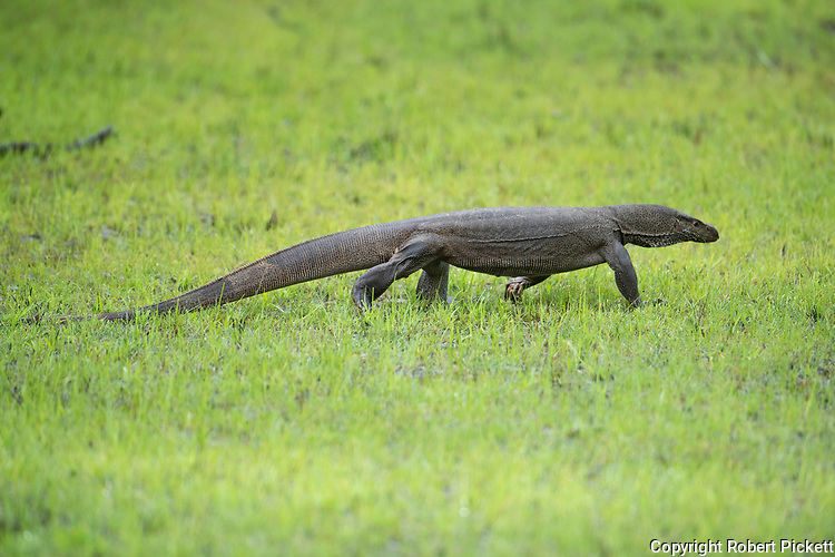Bengal Monitor Lizard, Varanus bengalensis, Wilpattu National Park, Sri Lanka, walking