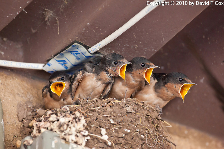 Barn Swallows in nest, Patagonia, Arizona