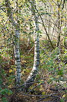 Birch trees in the Polish National Forest. Zawady Central Poland