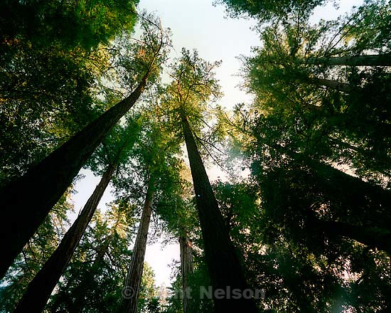 Looking up into the trees at the Big Basin redwoods state park.<br />