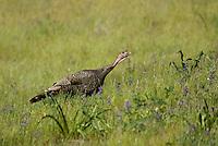Wild turkey, Meleagris gallopavo, Mount Diablo State Park, California