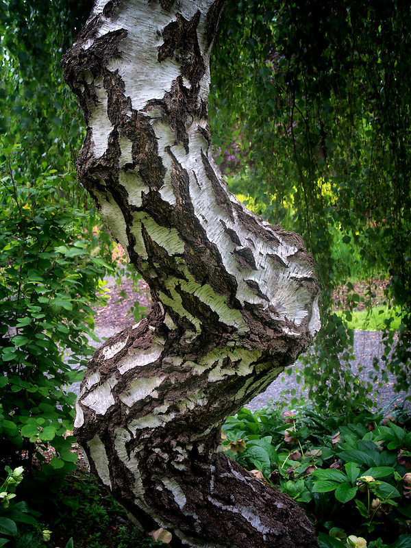 Alder tree trunk. Oregon