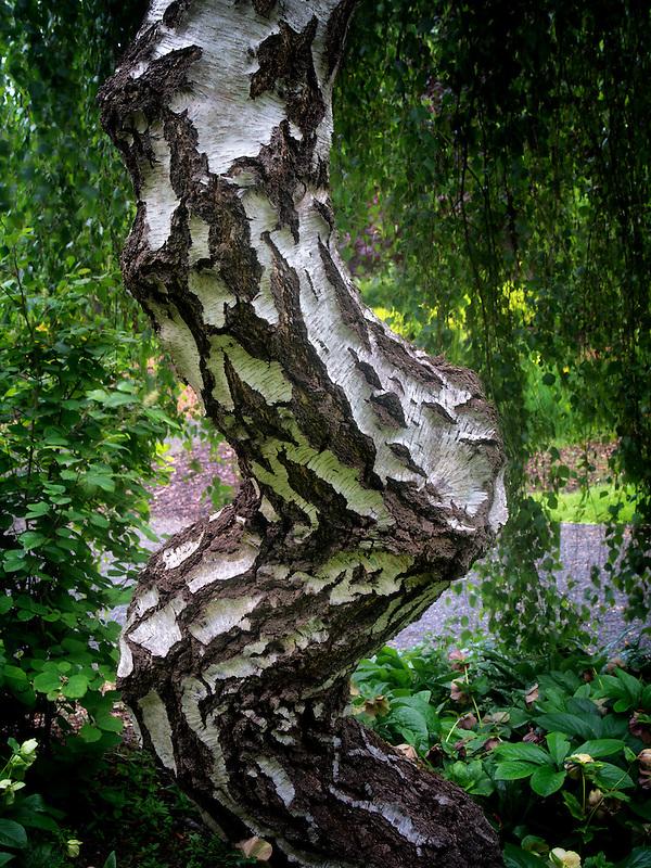 Alder tree trunk. Oregon