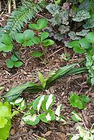 Shade garden plants Rhodea japonica, Vinca Wojo's Gem, Heuchera, Lamium galeobdolon, Fragaria, fern