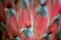 Close up of Protea flower. Hawaii Island.