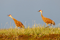 "Pair of  ""Lesser"" Sandhill Cranes (Grus canadensis canadensis) deuting on the breeding grounds in Russia. Chukotka, Russia. July."