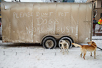 Billy Snodgrass dogs wait outside their trailer on 4th avenue  prior to the Ceremonial Start of the 2016 Iditarod in Anchorage, Alaska.  March 05, 2016