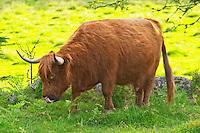 Hairy Highland longhorn cattle. Brown Smaland region. Sweden, Europe.