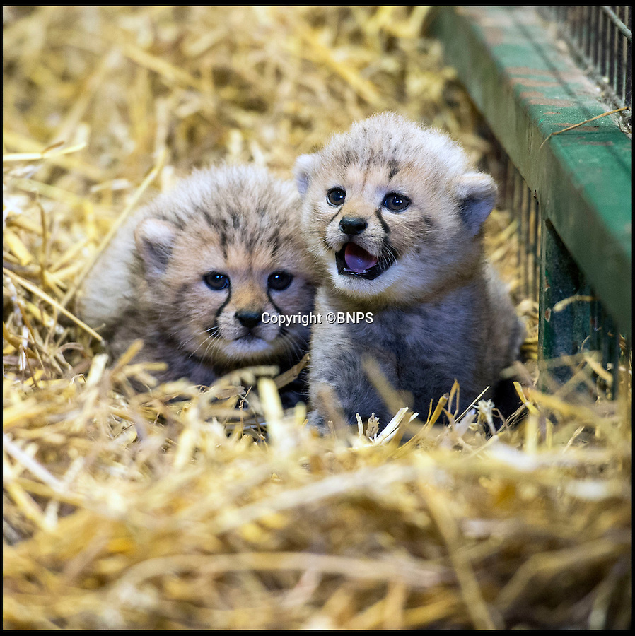 BNPS.co.uk (01202 558833)<br /> Pic: Longleat/BNPS<br /> <br /> The first Cheetah cubs ever born at Longleat.<br /> <br /> A pair of super-rare cheetah cubs are thriving after being born at the Wiltshire Safari park.<br /> <br /> The pair, a male and a female, were born last month and will remain inside with mum Wilma until they are 12 weeks old.<br /> <br /> The cheetah is the fastest developing member of the cat family. Longleat's cubs opened their eyes after just six days, began moving around on their own within three week and started chewing on bones at five weeks.<br /> <br /> Cheetahs are the world's fastest land animals; capable of top speeds of 71 miles per hour. While running they can cover four strides in a second with each stride measuring up to eight metres.