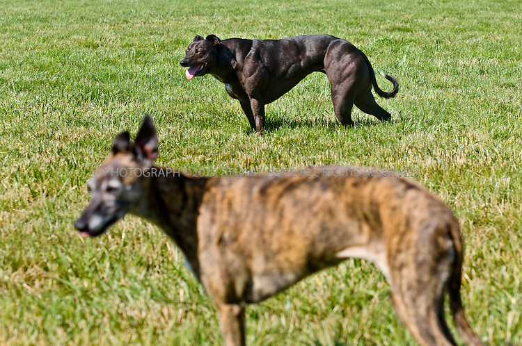 "5/31/2007---Victoria, British Columbia, Canada..Wendy, a Bully Whippet (larger black dog), owned by Ingrid Hansen in Victoria, Canada. The smaller dog, named Fox, is  a regular whippet. A ""Bully"" whippet is a mutation of the whippet breed of dog that causes the dog to have large muscles.....Photograph ©2007 Stuart Isett.All rights reserved"