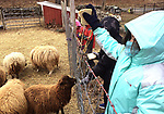 WOODBURY, CT-011518JS07---Children feed bread to the sheep at the farm during the Flanders Adventure program Monday at Flanders Nature Center in Woodbury. The kids learned about farm life, trees and how everything in nature in inter connected. The children also took a hike and looked for animal traces and learned how sails survive in the winter. <br /> Jim Shannon Republican-American