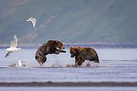 Two kodiak bears fight for a salmon. Kodiak grizzly bear (Ursus arctos middendorffi), Hallo Bay