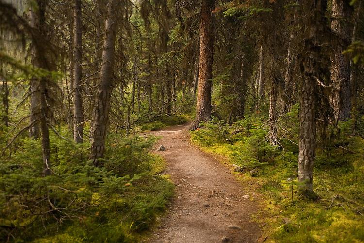 Densely wooded trail around Lake O'Hara on way to Obapin Plateau, Yoho HP