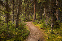 Densely wooded trail around Lake O'Hara on way to Obapin Plateau, Yoho HP