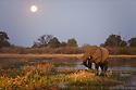 Botswana, Okavango Delta, Moremi Game Reserve, African elephant bull (Loxodonta africana) feeding at dusk under full moon