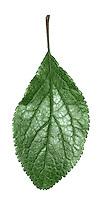 Wild Plum - Prunus domestica institita
