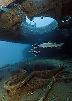 TP0463-Dr. Sand Tiger Shark (Carcharias taurus) at 90 feet deep, swimming slowly between the decks of the shipwreck of the Aeolus, a cable layer and repair ship. This shark also known as Gray Nurse Shark and Ragged-tooth shark. Previously classified as Eugomphodus taurus and Odontaspis taurus. North Carolina, USA, Atlantic Ocean.<br /> Photo Copyright &copy; Brandon Cole. All rights reserved worldwide.  www.brandoncole.com