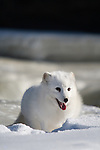 Arctic fox (Alopex lagopus) digging in the snow