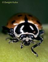 1C01-034z   Convergent Ladybug, face, Hippodamia convergens