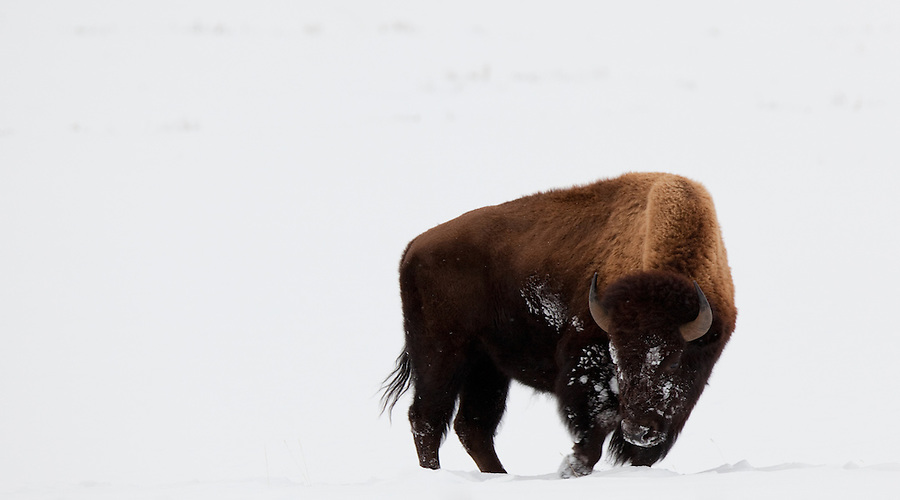 An individual bison with a snow-covered face searches the ground for food during the winter in Yellowstone National Park.