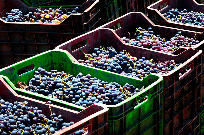 Stacked crates of harvested grapes in the wine producing region of Ica, Peru.
