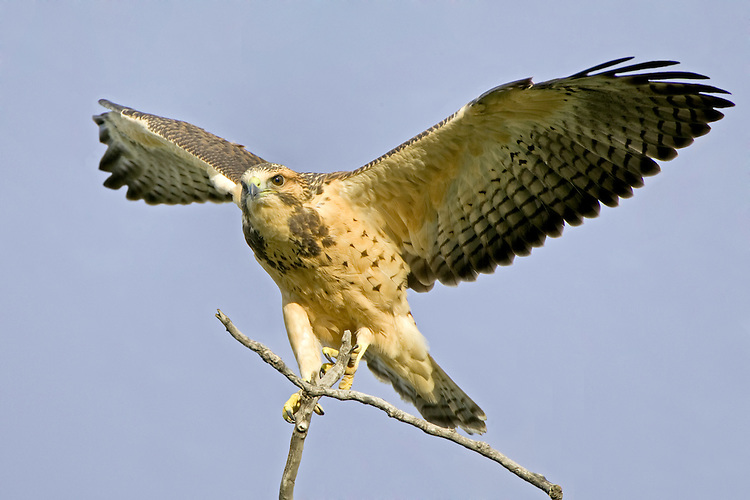 Young Swainson's Hawk testing its wings in the breeze