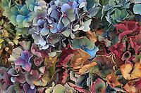 Hydrangea in garden in Portland, Oregon