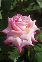 Rosa California Dreamin aka Rosa 'Meibihars', pink and cream bicolor hybrid tea rose