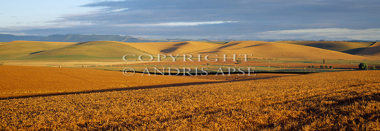 Barley crop in the Lyalldale area. Canterbury Region. New Zealand.