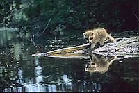 Raccoons, juveniles exploring a pond.  Medford, New Jersey