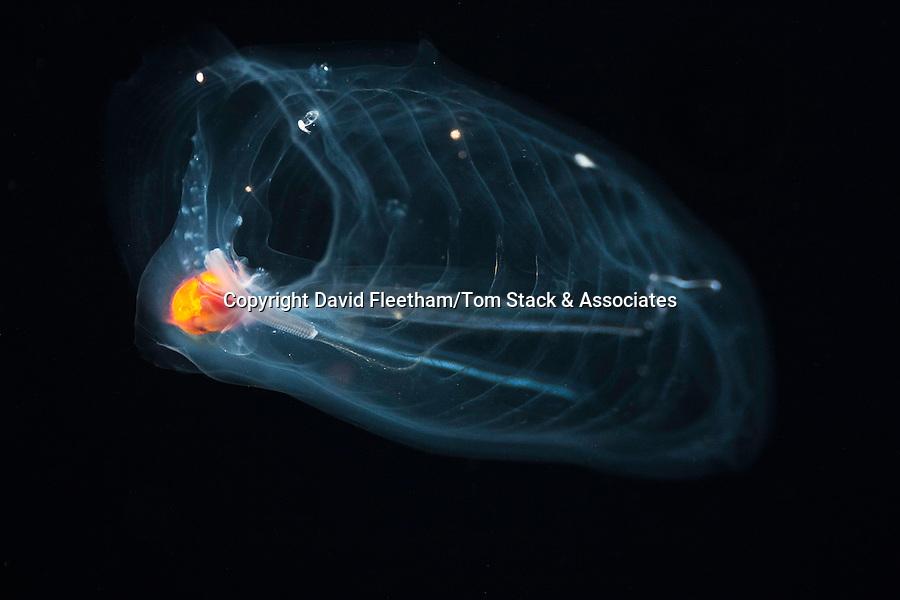 This pelagic tunicate or salp, Salpa aspera, is part of the Salpidae family of gelatinous animals.  Hawaii.