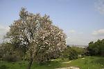 Israel, Shephelah, Almond trees in Beth Gemal