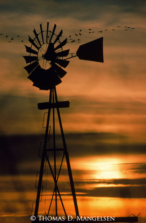 Cranes silhouetted in flight behind a windmill in Nebraska.