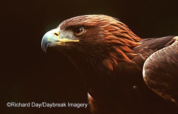 00788-001.10 Golden eagle (Aquila chrysaetos)    OR