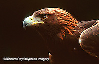 00788-001.10 Golden eagle (Aquila chrysaetos)    OR
