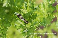 03009-02002 Black Swallowtail (Papilio polyxenes) caterpillar on Parsley Marion Co. IL