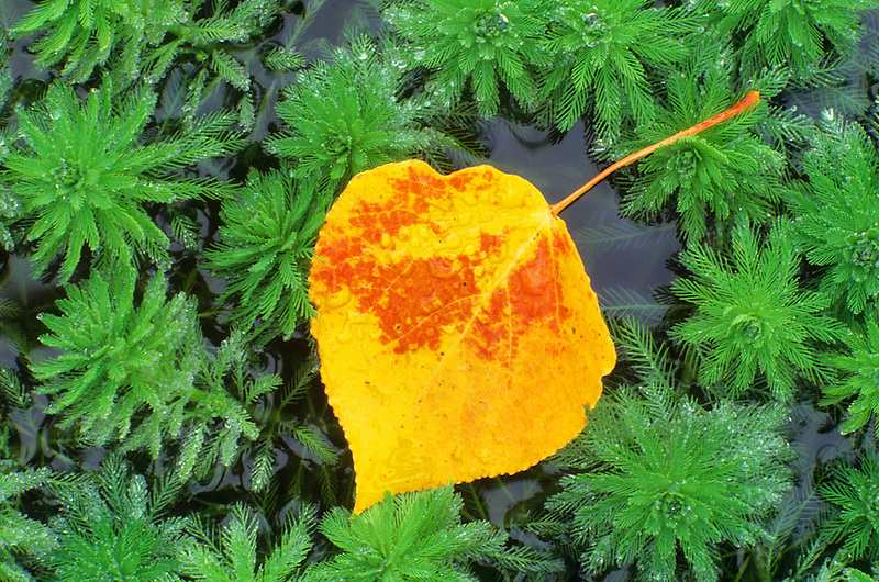 Aspen Leaf in pond weeds. Near Alpine, Oregon.