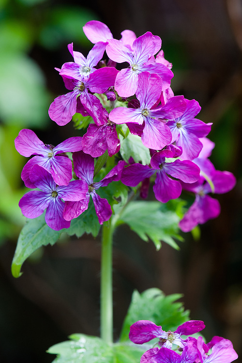 Honesty (Lunaria annua), late April.