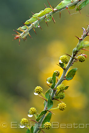 Close up of Kangaroo Thorn or Hedge Wattle (Acacia paradoxa) with raindrops. New South Wales