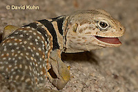 0612-1017  Displaying Teeth, Great Basin Collared Lizard (Mojave Black-collared Lizard), Crotaphytus bicinctores  © David Kuhn/Dwight Kuhn Photography