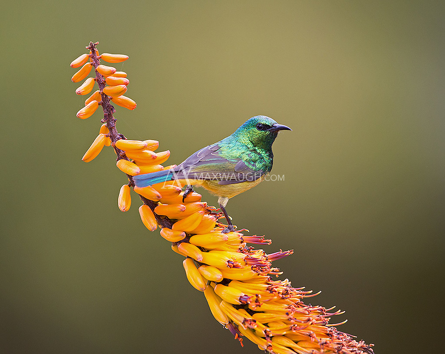 Sunbirds are Africa's answer to the hummingbird.  They're quite beautiful.