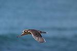 La Jolla, California; a juvenile Peregrine Falcon (Falco peregrinus) practicing flying while over the Pacific Ocean