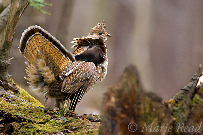 Ruffed Grouse (Bonasa umbellus) male displays after drumming on moss-covered log in early spring, New York, USA