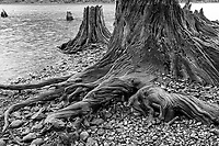 Old trees on lake shore