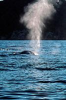 fin whale, Balaenoptera physalus, spouting, Sonora, Mexico, Sea of Cortez, Pacific Ocean