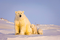 polar bear, Ursus maritimus, mother with newborn spring cubs newly emerged from their den, mouth of Canning River along the Arctic coast, eastern Arctic National Wildlife Refuge, Alaska, polar bear, Ursus maritimus