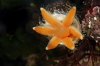 Seven-armed Starfish feeding - Lucida ciliaris