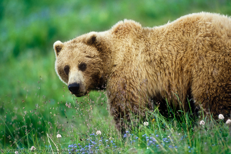 Female grizzly bear in Forget-me-not flowers on Alaska's tundra in Denali National Park, Alaska.