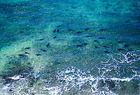 Aeriel view, school of sharks swimming off the shore of Niihau